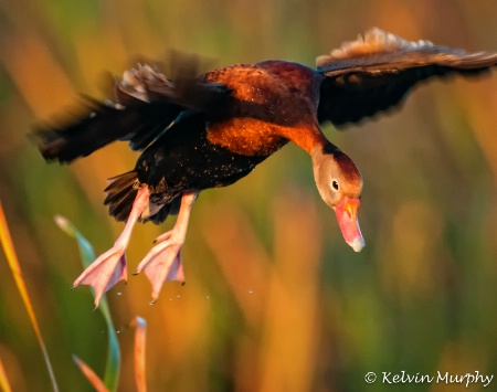 Black-Bellied Whistling Duck2