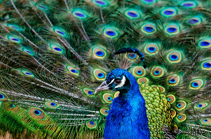 Peacock showing off!