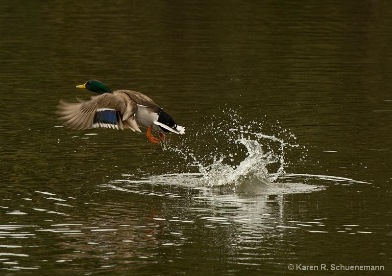 Duck Departure