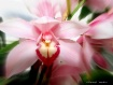Pink Orchid Zoom