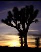 Joshua Tree Sunse...