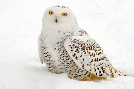 Snowy Owl, Ontario, Canada