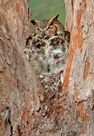 Great Horned Owl With Baby