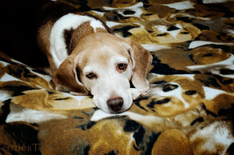 Beagle Camo