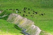 cows in a meadow ...