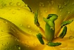 """"""" Yellow Tuli..."""