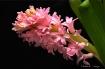 Pink  Hyacynth