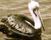 peruvian pelican ...