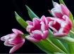 4 tulips