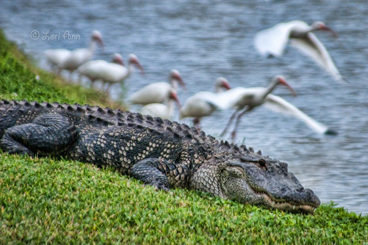 See You Later, Alligator