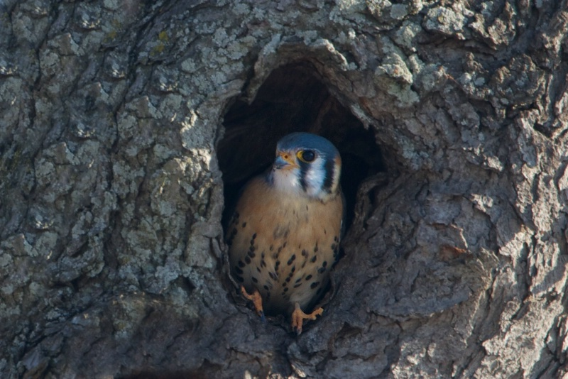 American Kestrel in the Hollow - ID: 13687011 © Kitty R. Kono