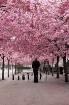 Cherry blossom an...