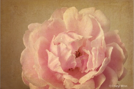 Rose with Texture