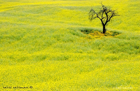 lonely tree in yellow field