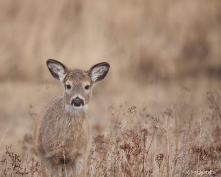 Young Deer 1602