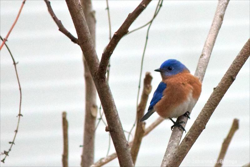 Bluebird - ID: 13714166 © Johanna S. Billings