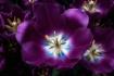 Tulip Treasures