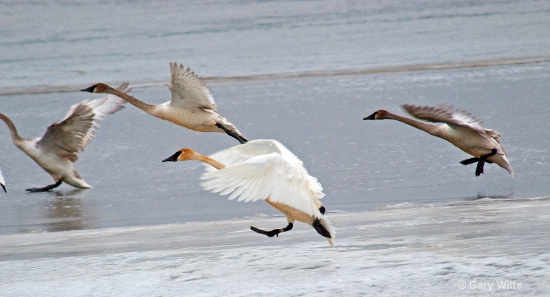 Incoming Trumpeter Swans