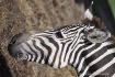 Stirpy Zebra at t...