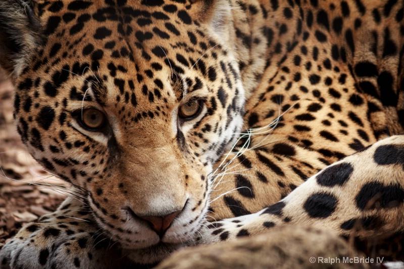 Jaguar - Elective 2