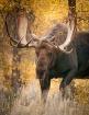 Bull Moose in the...