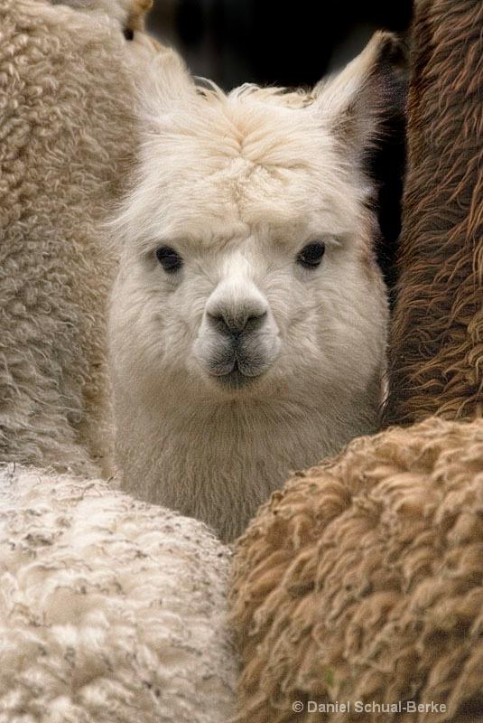 """""""Alpaca Squeeze""""  - ID: 13720425 © Daniel Schual-Berke"""