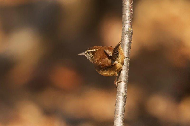 Carolina Wren on a Twig - ID: 13723573 © Kitty R. Kono