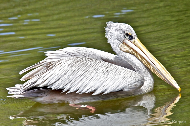 Pink-backed Pelican  - ID: 13724214 © Terry Korpela