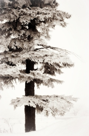 Lone Pine in Winter