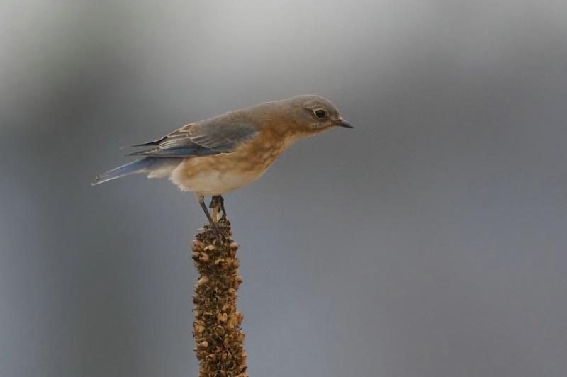 Bluebird on Mullein - ID: 13727512 © Kitty R. Kono