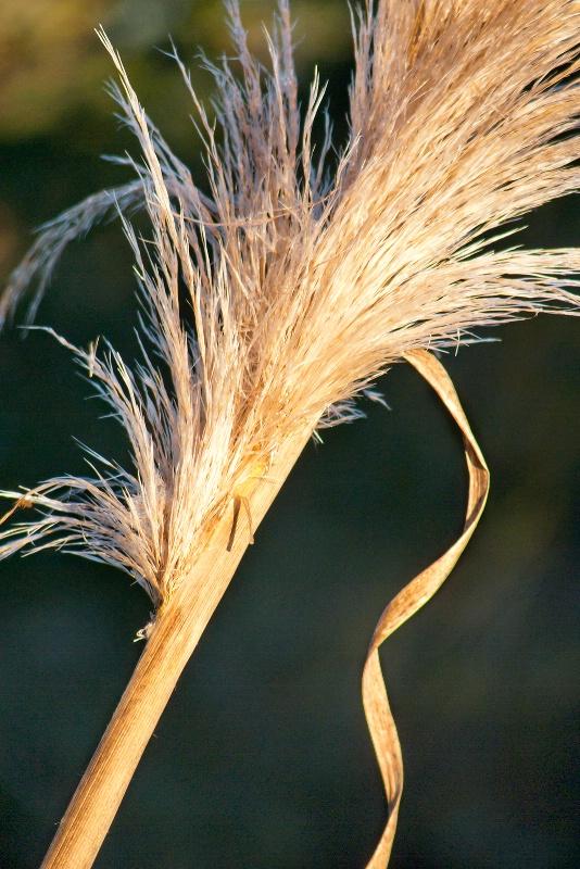 Pampas Grass 030113