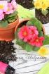 Spring Primulas