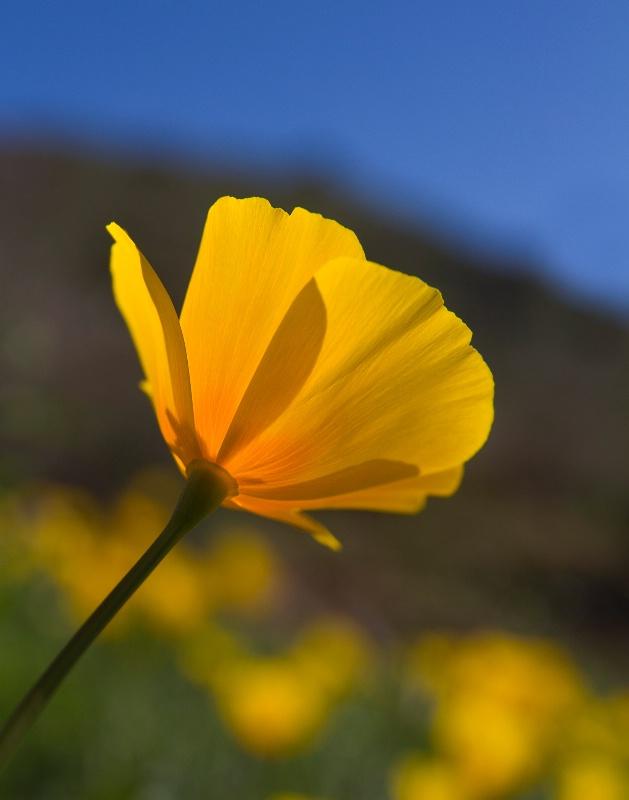 First Spring Poppy