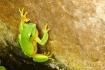 Green Tree Frog o...
