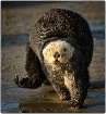 Otter Walking