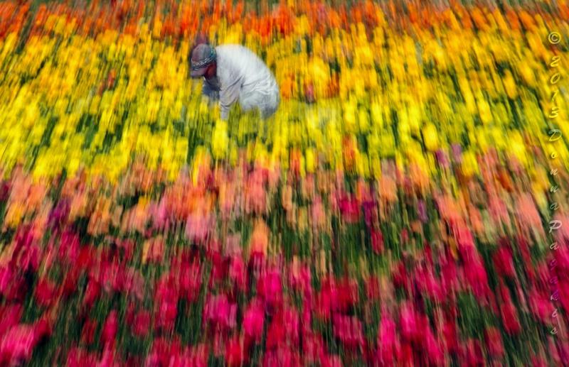 Harvesting Flowers - ID: 13754006 © Donna La Mattino Pagakis