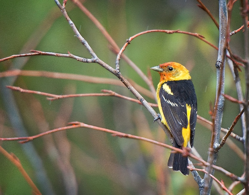 Western Tanager - ID: 13755048 © Kelly Pape