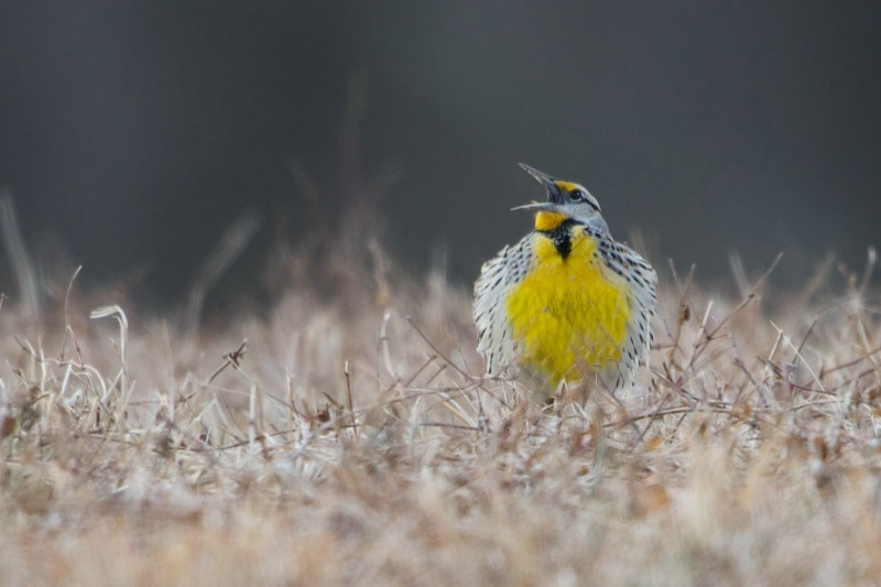 Meadow Lark Singing For Spring