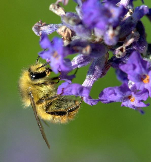 Golden Bumble Bee - ID: 13757339 © cari martin