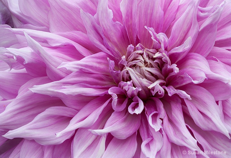 Dahlia 0293 - ID: 13764924 © Susan Milestone