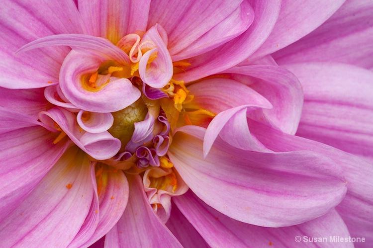 Dahlia 0312 - ID: 13764926 © Susan Milestone