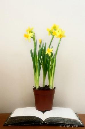 Daffodil Distraction
