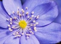 European Blue