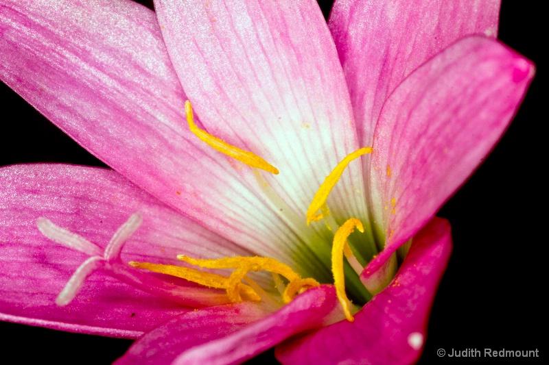 Small wild flower - ID: 13770840 © Judith Redmount