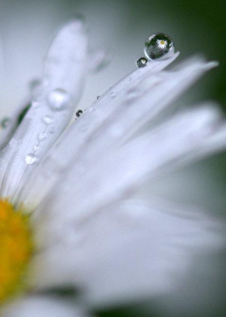 Daisy Drop - ID: 13781127 © cari martin