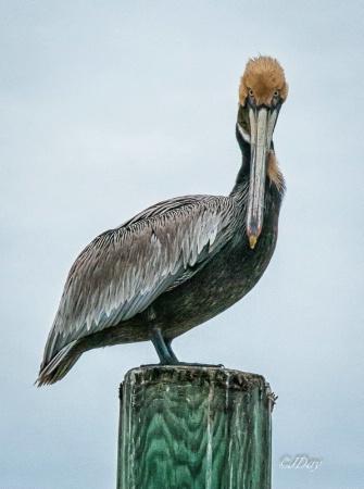 Staring Pelican