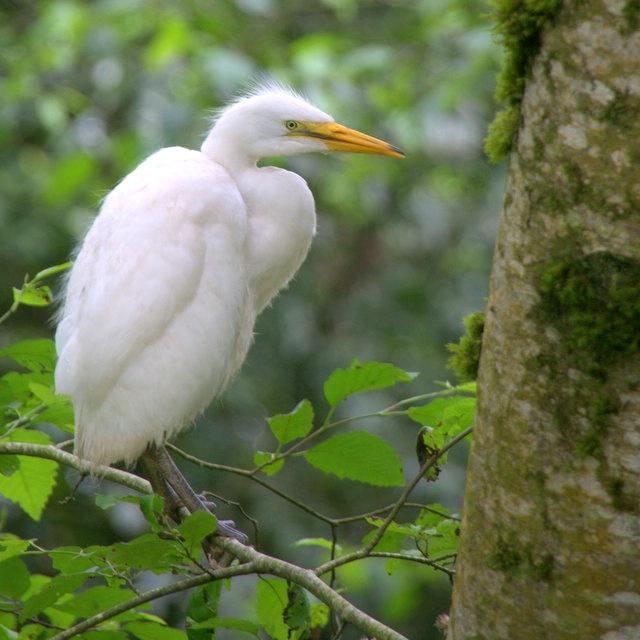 Young Egret - ID: 13785349 © cari martin