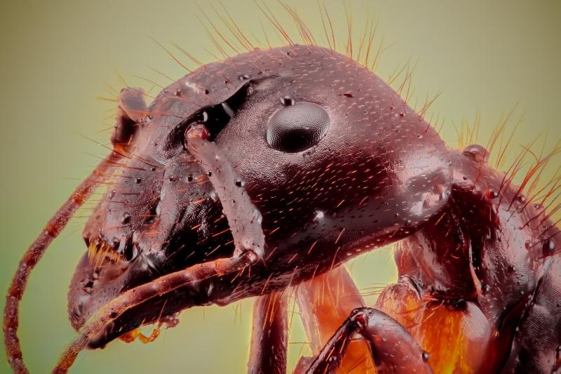 Extrema Macro Ant