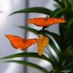 Butterflies in Fl...