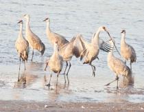 sandhill crane courtship ritual